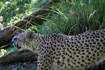 National Zoo - Leopard - 011325 Art Print by DC Photographer
