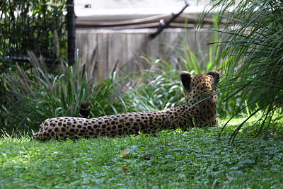 Leopards Photograph - National Zoo - Leopard - 01135 by DC Photographer