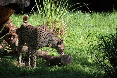 National Zoo - Leopard - 01136 Art Print by DC Photographer