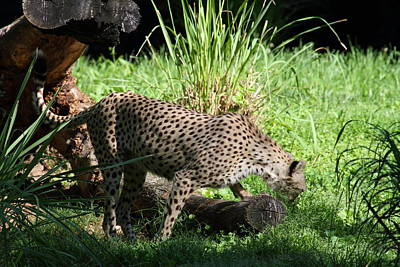 Cat Photograph - National Zoo - Leopard - 01137 by DC Photographer