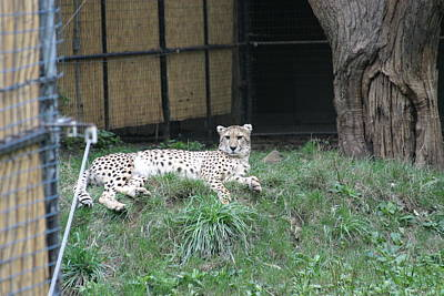 National Zoo - Leopard - 12125 Art Print by DC Photographer
