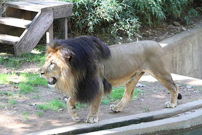 Jungle Photograph - National Zoo - Lion - 011311 by DC Photographer