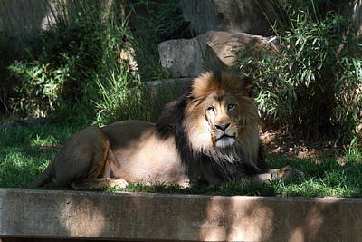 National Zoo - Lion - 011315 Art Print by DC Photographer
