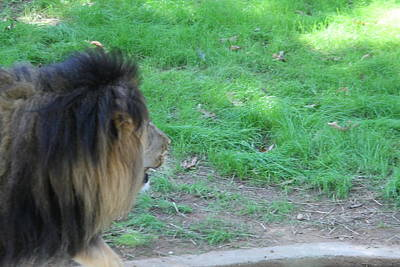 Jungle Photograph - National Zoo - Lion - 01134 by DC Photographer