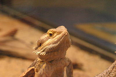 Lizards Photograph - National Zoo - Lizard - 12122 by DC Photographer