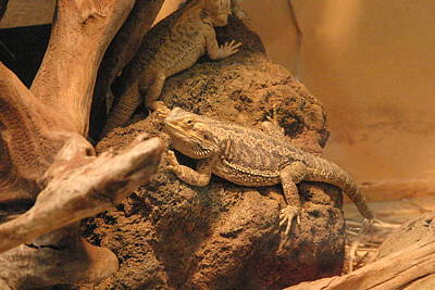 National Zoo - Lizard - 12124 Art Print
