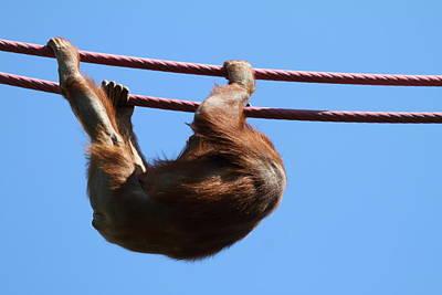 Orangutan Photograph - National Zoo - Orangutan - 011313 by DC Photographer