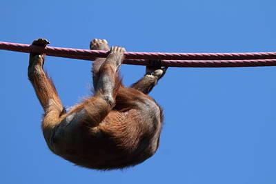 Orangutan Photograph - National Zoo - Orangutan - 011314 by DC Photographer