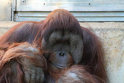 Orangutan Photograph - National Zoo - Orangutan - 011321 by DC Photographer
