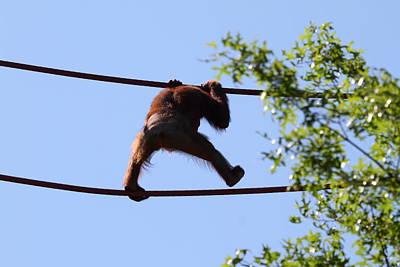 National Zoo - Orangutan - 01137 Art Print
