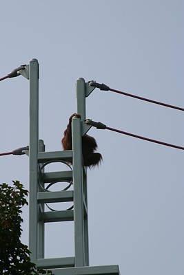 National Zoo - Orangutan - 12121 Art Print
