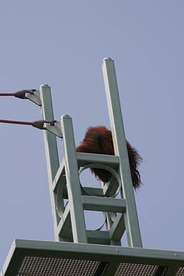 National Zoo - Orangutan - 121213 Art Print
