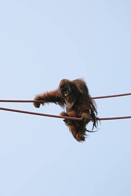 Orangutan Photograph - National Zoo - Orangutan - 121215 by DC Photographer