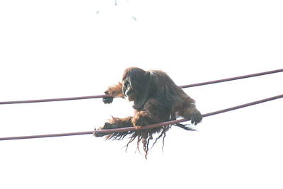 Orangutan Photograph - National Zoo - Orangutan - 121220 by DC Photographer
