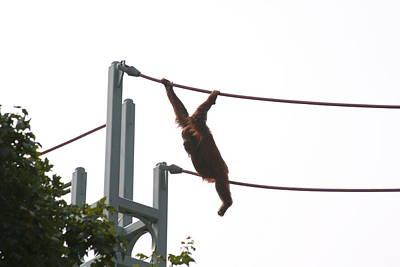 Orangutan Photograph - National Zoo - Orangutan - 12126 by DC Photographer