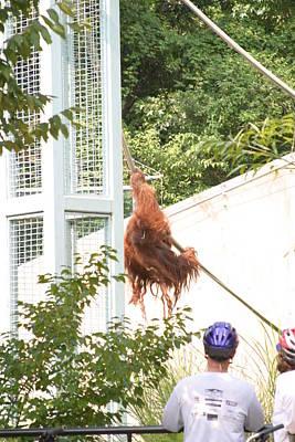 Orangutan Photograph - National Zoo - Orangutan - 12127 by DC Photographer