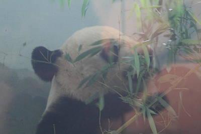 Dc Photograph - National Zoo - Panda - 01132 by DC Photographer