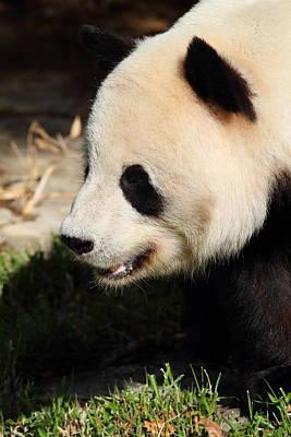 Panda Photograph - National Zoo - Panda - 011324 by DC Photographer