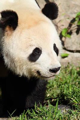 Pandas Photograph - National Zoo - Panda - 011325 by DC Photographer