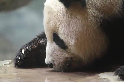 National Zoo - Panda - 01133 Art Print