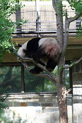 Zoos Photograph - National Zoo - Panda - 011332 by DC Photographer
