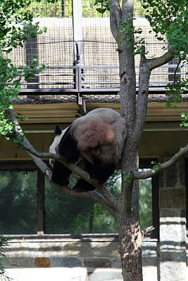 Pandas Photograph - National Zoo - Panda - 011336 by DC Photographer