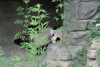 Zoos Photograph - National Zoo - Panda - 12122 by DC Photographer