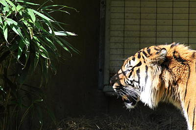 National Zoo - Tiger - 011313 Art Print by DC Photographer