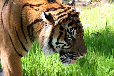 National Zoo - Tiger - 011321 Art Print by DC Photographer