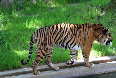 Cat Photograph - National Zoo - Tiger - 011322 by DC Photographer