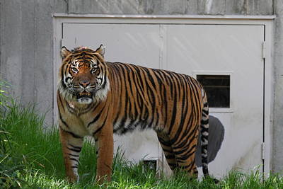Bigcat Photograph - National Zoo - Tiger - 011325 by DC Photographer