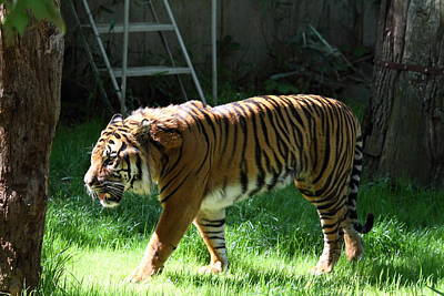 Cat Photograph - National Zoo - Tiger - 011328 by DC Photographer