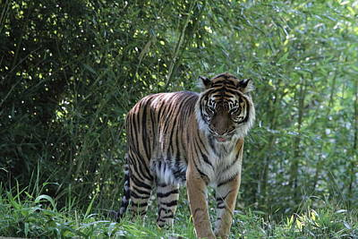 Cat Photograph - National Zoo - Tiger - 01133 by DC Photographer