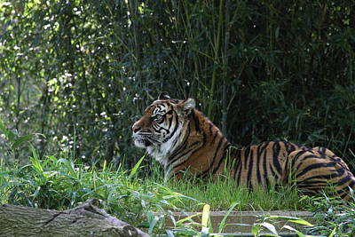 Dc Photograph - National Zoo - Tiger - 01136 by DC Photographer