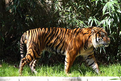 National Zoo - Tiger - 01138 Art Print by DC Photographer