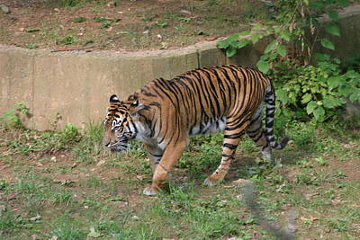National Zoo - Tiger - 121212 Art Print by DC Photographer