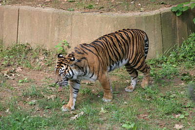 National Zoo - Tiger - 121213 Art Print by DC Photographer