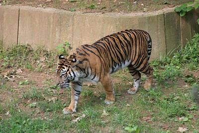 National Zoo - Tiger - 121213 Art Print