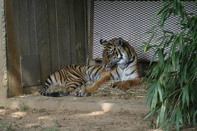 National Zoo - Tiger - 12122 Art Print by DC Photographer