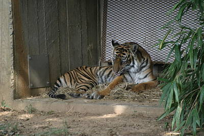 Cat Photograph - National Zoo - Tiger - 12123 by DC Photographer