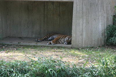National Zoo - Tiger - 12124 Art Print by DC Photographer