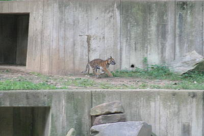 Cat Photograph - National Zoo - Tiger - 12126 by DC Photographer