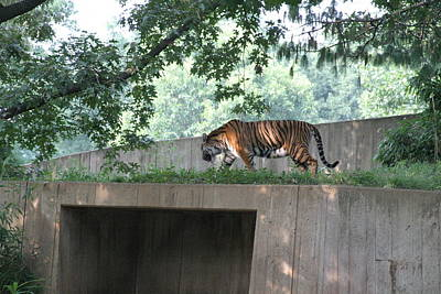 National Zoo - Tiger - 12128 Art Print by DC Photographer
