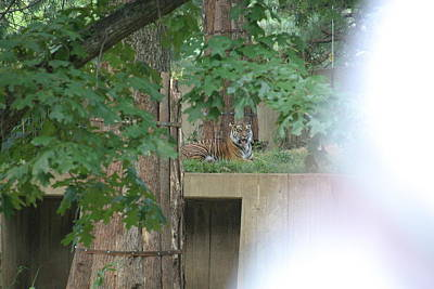 National Zoo - Tiger - 12129 Art Print by DC Photographer