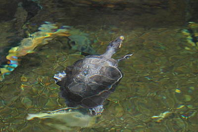 National Zoo - Turtle - 01131 Art Print by DC Photographer