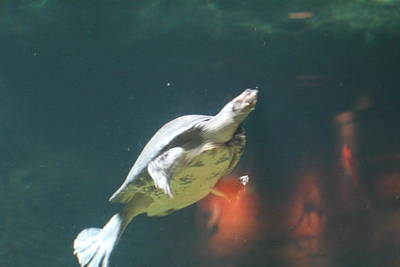 National Zoo - Turtle - 01135 Art Print