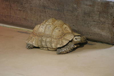 Shell Photograph - National Zoo - Turtle - 12121 by DC Photographer