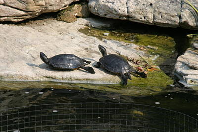 National Zoo - Turtle - 12123 Art Print