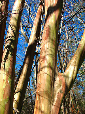 Christmas Trees - Native Crepe Myrtles in Woodland Setting by Connie Fox