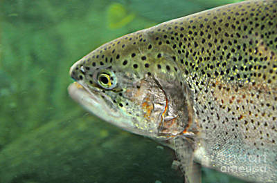 Photograph - Native Rainbow Trout by Mindy Bench